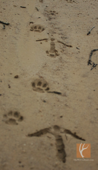 Turkey-and-Bobcat-Tracks